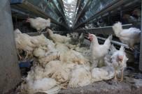Denizli'de Haciz Katliamı Açıklaması 40 Bin Tavuk Telef Oldu