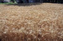 Buğdayda Kullanılan Mikoriza Mantarı İle Verim Yüzde 20 Arttı