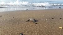 (Özel) Yavru Caretta Cerattalar Denizle Buluşmaya Başladı