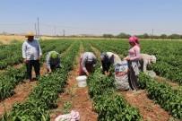 Gaziantep'te Dolmalık Biber Hasadı Başladı
