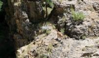 MUNZUR - Munzur Dağlarında Yaban Keçileri Görüntülendi