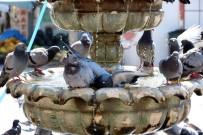 Sıcaktan Bunalan Güvercinler Süs Havuzunda Serinliyor