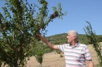 ORGANİK MEYVE - Yunusemre'nin Organik Bahçeleri İlk Meyvelerini Verdi
