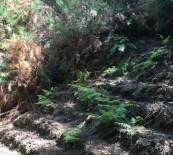 HINT KENEVIRI - Ormanlık Alana Ekilmiş 512 Kök Hint Keneviri Ele Geçirildi