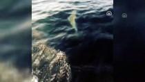 YUNUSLAR - Teknelere Eşlik Eden Yunuslar Renkli Görüntüler Oluşturdu