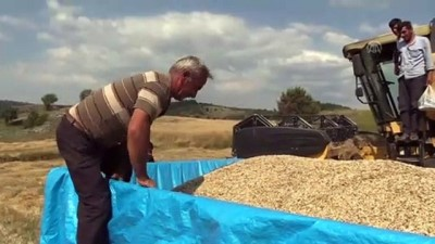 Buğdayın Atası 'Siyez'de Hasat Başladı