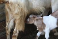(Özel) Bu Keçilerin Sütü Bir Başka