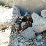 Nesli Tükenmekte Olan Alaca Sansar, Sivas'ta Görüldü