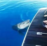 TURİZM CENNETİ - Turistleri Taşıyan Tur Teknesinde Köpek Balığı Heyecanı