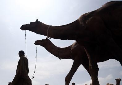 Pakistan'da develer kurban için görücüye Çıktı