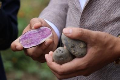 Bolu'da obezite ve kanser düşmanı mor patates ilk kez topraktan çıkarıldı
