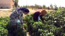 Kadınlar Okul Bahçesinde Yetiştirdikleri Biberin Hasadını Yaptı