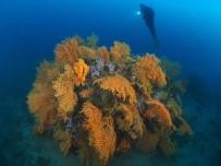 (Özel) Kızıl Mercanlardan Sonra Sarı Mercanlar Da Büyük İlgi Çekiyor
