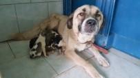 Yavru Köpekler Süt Annelerine Kavuştu