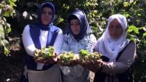 'Kahramanmaraş'ın Karadenizi'nde Fındık Hasadı