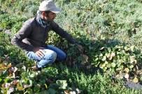 Sason'da Hibeli Çilek Üretimi Sayesinde Tersine Göç Başladı