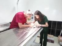 Yaralı Kerkenez Kars'ta Tedavi Altına Alındı