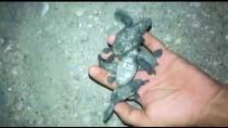 CARETTA CARETTA - Caretta Caretta Yavrularını Vatandaş Denize Ulaştırdı
