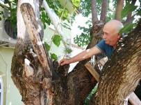 Dut Ağacının İçinden Çam Fidanı Çıktı