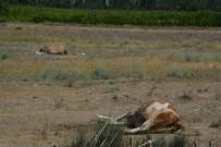TARIM İLACI - Iğdır'da Büyükbaş Hayvanlar Zehirlenerek Telef Oldu