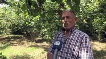 MUSTAFA CAN - Fındık Üreticisi Bahçeye Mutlu Girdi