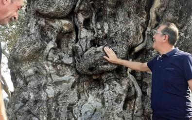 Kuşadası'nın Anıtsal Ağaçları İçin Tescil Çalışmaları Başlatıldı