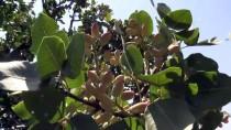 GECE BEKÇİSİ - Antep Fıstığı Bahçesine Güvenlik Kameralı Koruma
