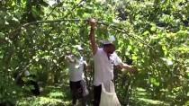 FINDIK TOPLAMA - Sigortalı Fındık İşçileri Hasada Başladı