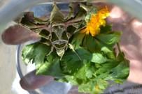 Manisa'da Ender Görülen 'Mekik Kelebeği' Bulundu