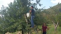 1600 Rakımlı Yaylada Elma Hasadı Başladı