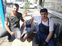 240 Kiloluk Orkinos, Aydın'da İlgi Odağı Oldu