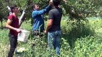 Gaziantep'te Elma Hasadı Başladı