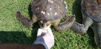 BALIK AVI - 2 Yeşil Deniz Kaplumbağası Ölü Olarak Bulundu