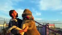 Çin'in Han Koyunları 'Anadolu Aslanı'na Emanet