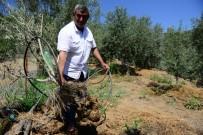 Yaban Domuzları Meyve Bahçelerine Dadandı