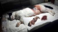Yavrusu Karnında Ölen Anne Kedi Ameliyatla Kurtarıldı