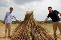 (ÖZEL) Japonlar 'Suşi' Susamı İçin Muğla'da