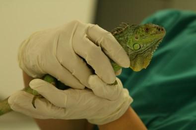'Bahçemde Büyük Bir Kertenkele Var' İhbarı, İguananın Yeni Evine Kavuşmasını Sağladı
