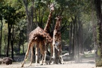 (Özel) Zürafaların Keyifli Oyunları Objektiflere Yansıdı