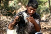 Fethiye'de Kurtlar Keçi Sürüsüne Saldırdı Açıklaması 35 Keçi Telef Oldu