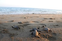 (Özel) Dünyanın Gözünün Olduğu Mersin Sahillerinde 40 Binin Üzerinde Yavru Kaplumbağa Denizle Buluştu