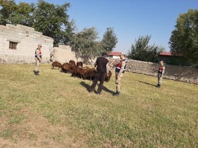Iğdır'da Küçükbaş Hayvan Hırsızlığı