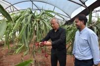 Mersin'de Pitaya Üretimi Yaygınlaşıyor