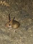 Tunceli'de kanguru faresi görüntülendi