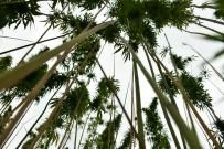 OSMAN KAYMAK - Kenevir Tohumu Üretimi 2023'Te 150 Tona Çıkacak