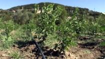 LALE SOĞANI - Stevia Bitkisi Yeni Gelir Kapısı Olacak