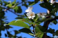 Gümüşhane'de İklimi Şaşıran Vişne Ağacı Sonbaharda Çiçek Açtı