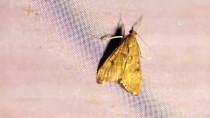 'Türkiye'nin Çatısı'ndaki Gece Kelebekleri Kayıt Altına Alınıyor