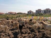 Ebru Sanatçısından İlginç Protesto; Keçilere Sergi Açtı