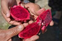 CEMAL ŞAHIN - Aydın Heyeti Muğla'da Ejder Meyvesini İnceledi